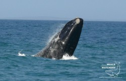 Southern Right Whale breach 4