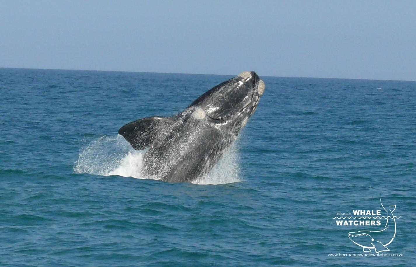 Southern Right Whale breach 5