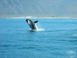 Southern Right Whale Breach 2