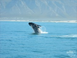 Southern Right Whale breach 3