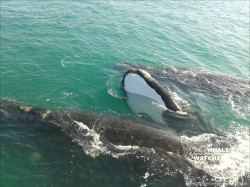 Southern Right Whale - Mating 1