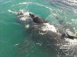Southern Right Whale - Mating 3
