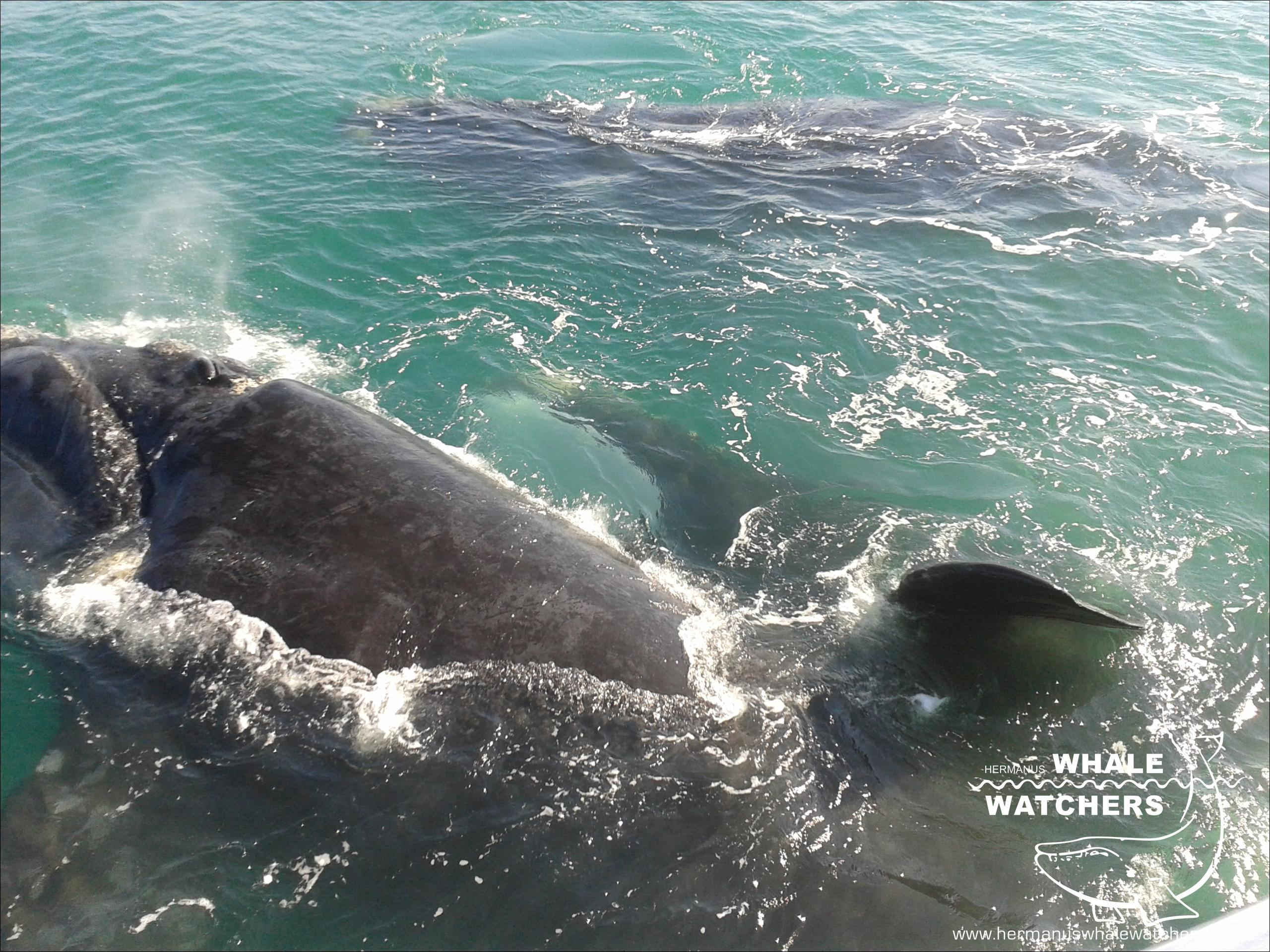 Southern Right Whale - Mating 2