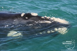 Southern Right Whale Surface