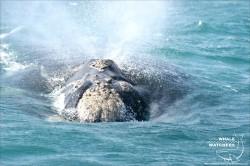 Whale - V-SHAPE Blow 1