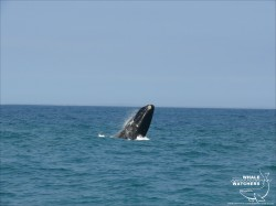 Southern Right Whale breach 6