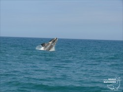 Southern Right Whale breach 7