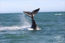 Southern Right Whale Tail 1