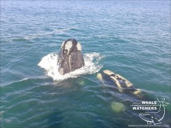Southern Right Whale - Spyhop