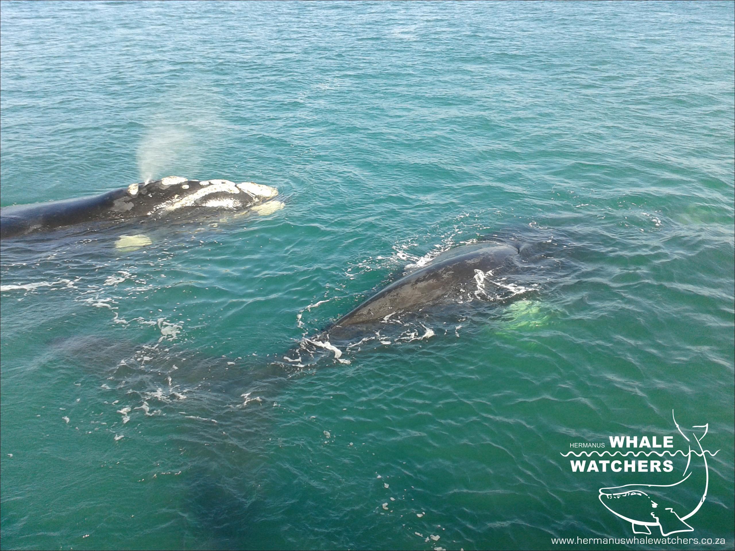 Whale - V-SHAPE Blow 2