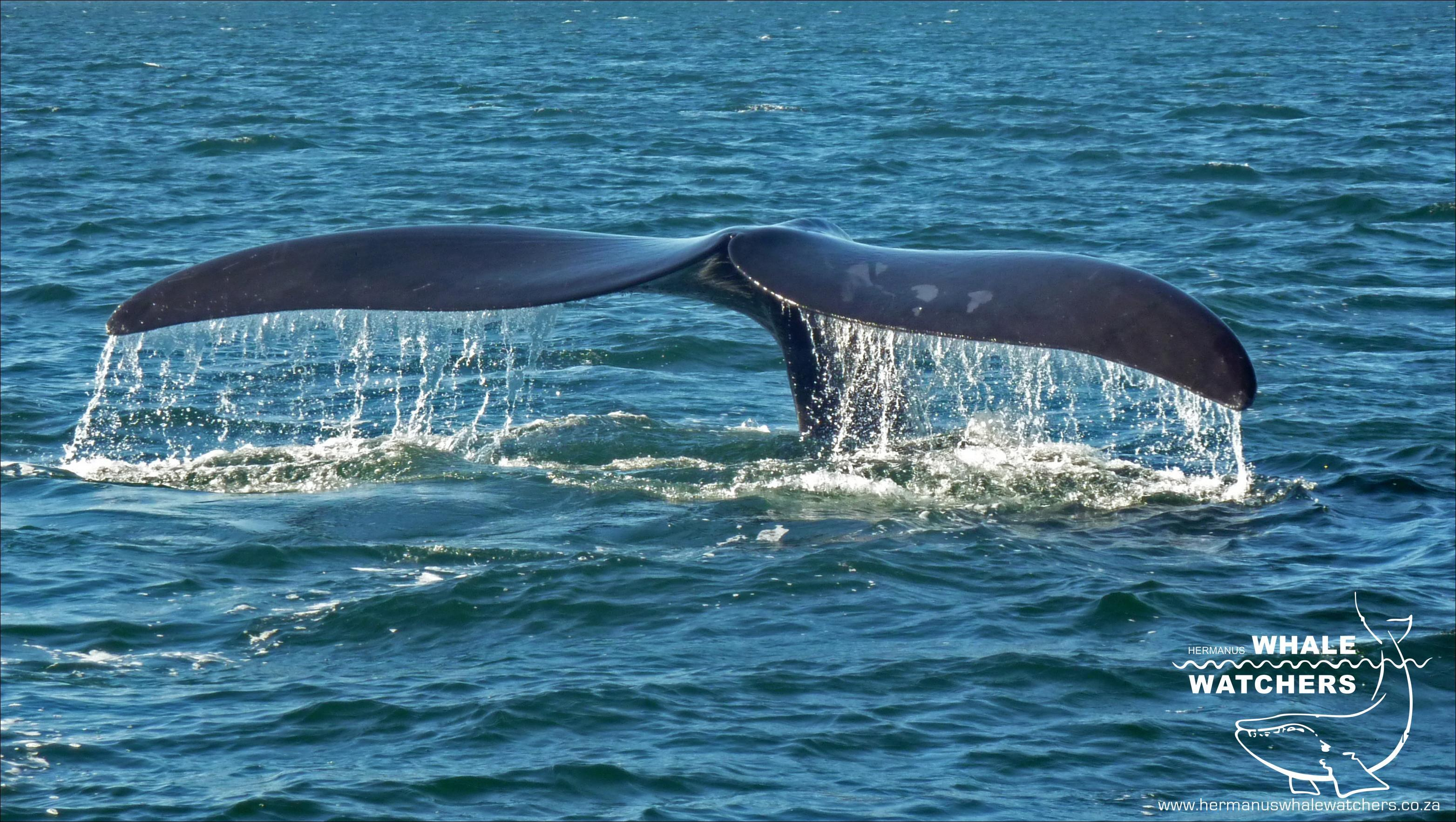 Southern Right Whale Tail 4